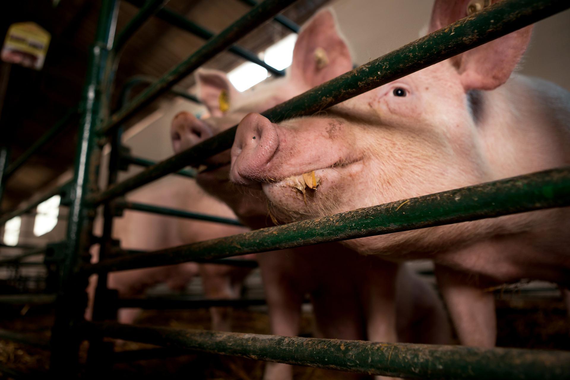 Zdjęcie ilustracyjne - świnie