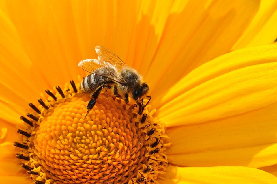 zdjęcie pszczoły