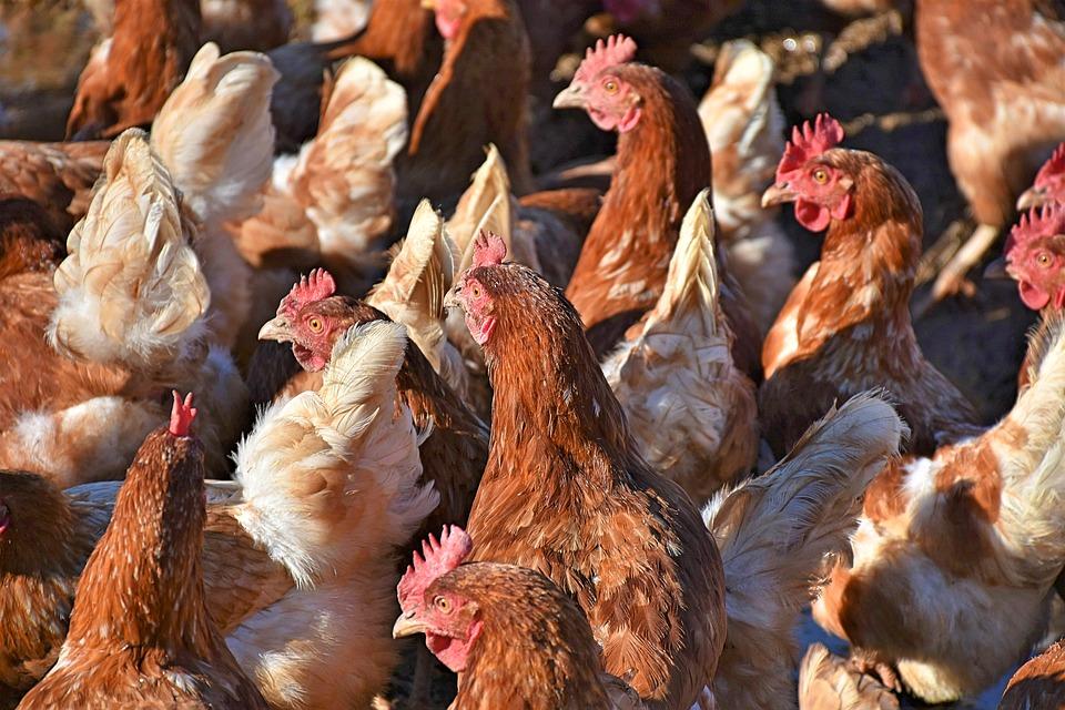 drób ptasia grypa komunikat PLW