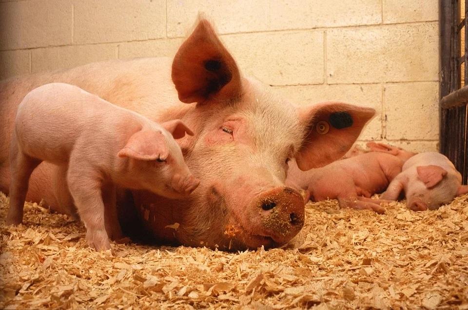 świnie ASF komunikat